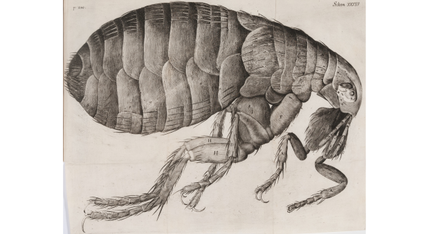 Engraved black and white illustration of a flea