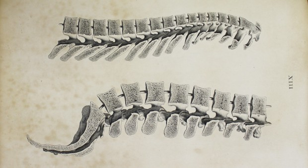 Engraved illustration of a cross-section of the bones of the human spine