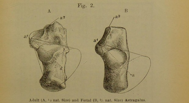 Black and white book illustration of bones in the ankle