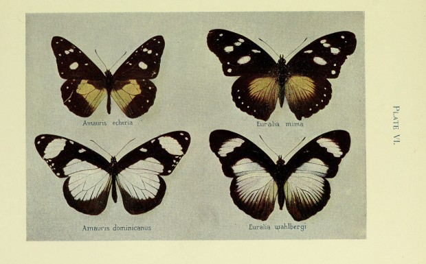 Colour illustration of two pairs of similar butterflies