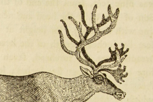 Woodcut illustration of a standing reindeer