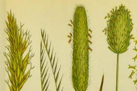 Colour illustration of grass seed heads