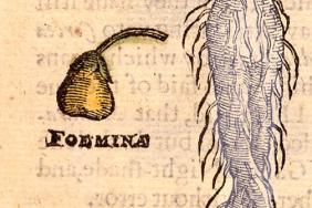 Illustration of a mandrake