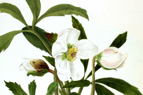 Watercolour painting of a white flower with dark green leaves