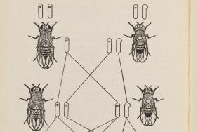 Black and white illustration of relationships between pairs of flies