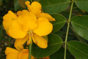A photograph of the yellow-orange flowers of Senna and mid-green foliage
